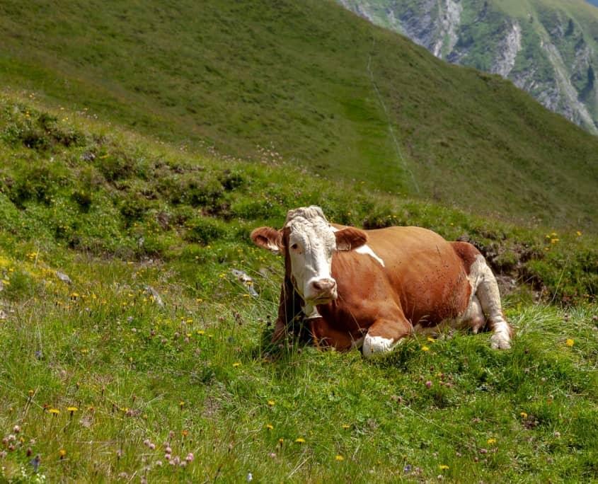 Kuh auf den Alpenwiesen in Tirol