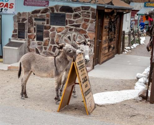 """Esel """"Burros"""" genannt in Oatman"""